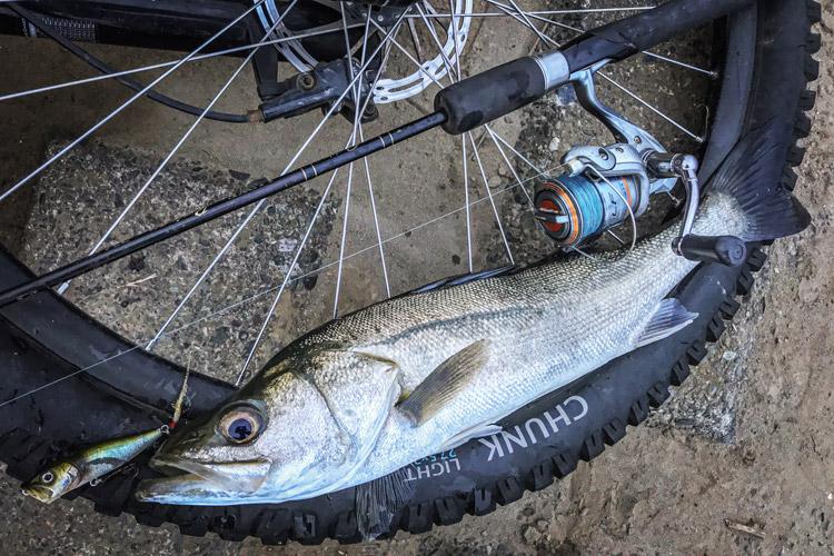 多摩川河原 夜活BIKE&FISH POPXで釣れたシーバス