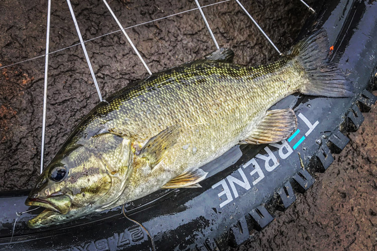 多摩川河原 朝活BIKE&FISH 知人作成オリジナル ワームで釣れたスモールマウスバス