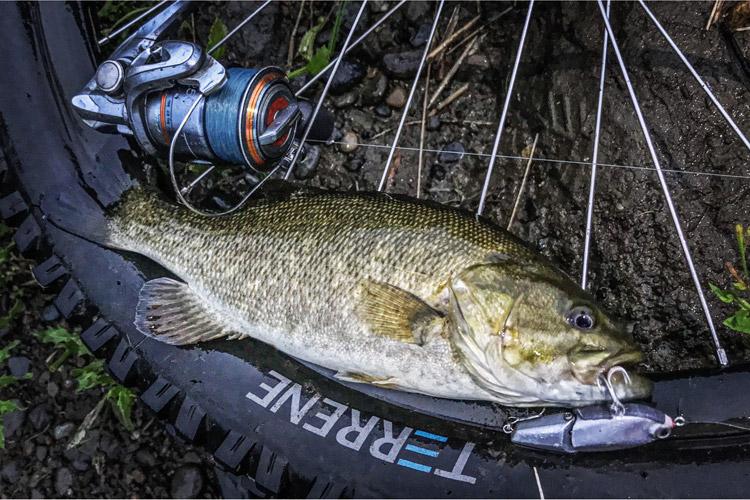 多摩川河原 朝活BIKE&FISH 知人作成オリジナル ジョイントミノーで釣れたスモールマウスバス