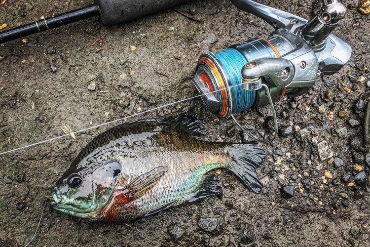 朝活FISH 藤本さん 野池 ブラックバス釣り ブルーギル