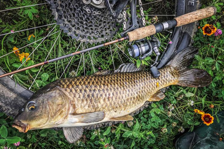 多摩川河原 朝活BIKE&FISH スプーンで釣れたコイ