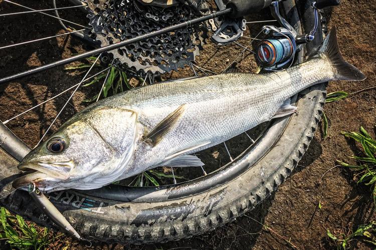 多摩川河原 朝活BIKE&FISH エリアテン エリテンで釣れたシーバス