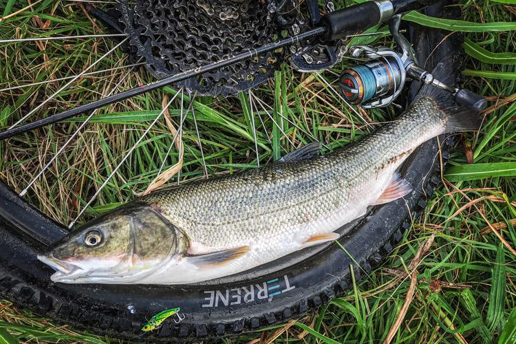朝活BIKE&FISH メタルバイブレーションで釣れたマルタウグイ