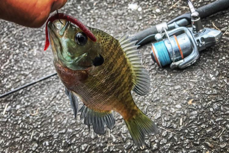 野池 ワームで釣れたブルーギル