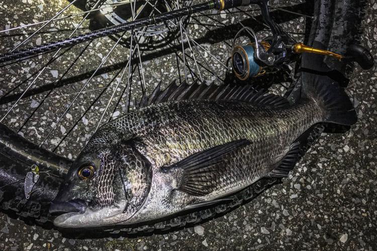 朝活BIKE&FISH メタルバイブレーションで釣れたクロダイ