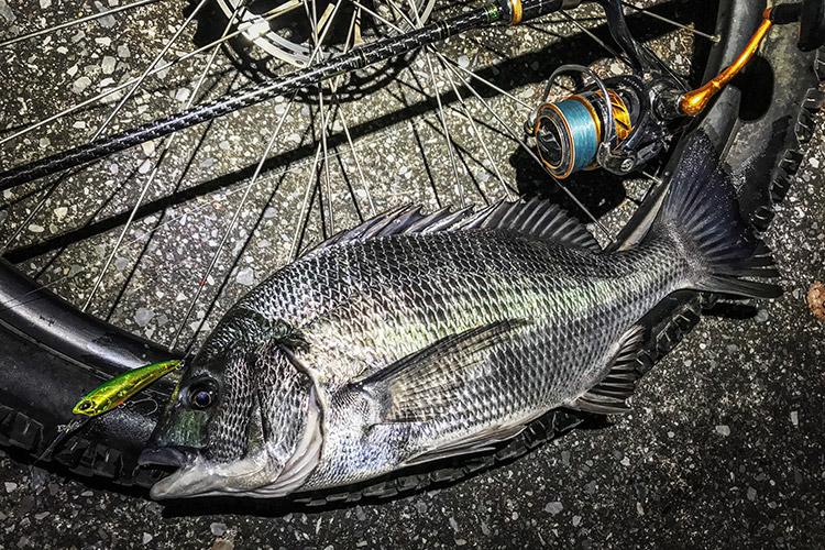 夜活BIKE&FISH シャッドで釣れたクロダイ