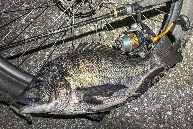 朝活BIKE&FISH シャッドで釣れたクロダイ