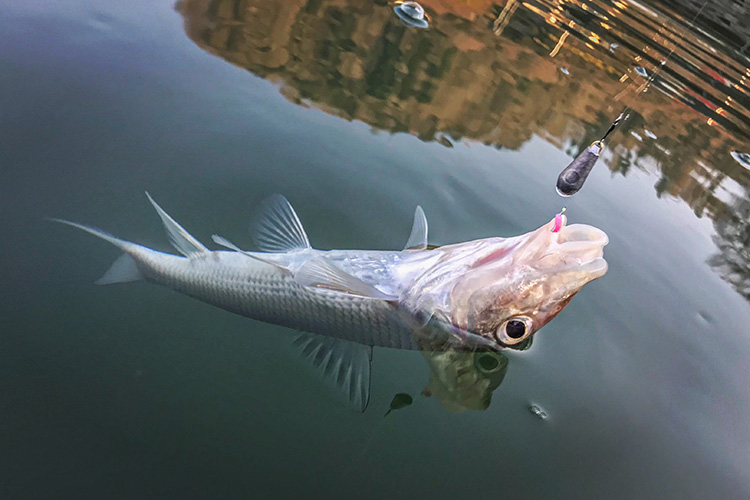 津久井湖 ワカサギ釣り ニゴイ