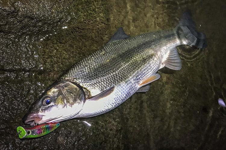 BIKE&FISH エリア65で釣れたマルタウグイ