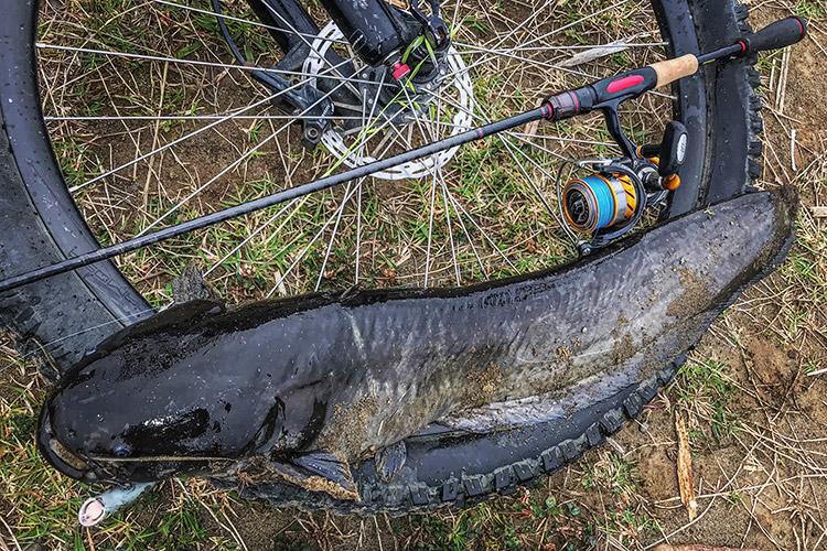朝活BIKE&FISH POPXで釣れたナマズ