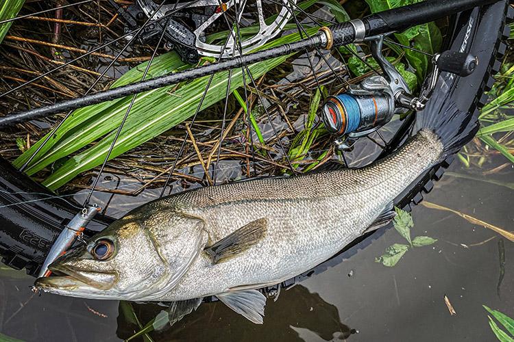 朝活ZBIKE&FISH eMTB SPECIALIZED Turbo Levo SL Comp Carbon 多摩川河原 エリテンで釣れたシーバス