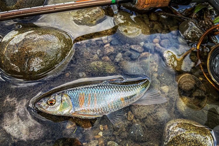 多摩川河原 BIKE&FISH オイカワ釣り