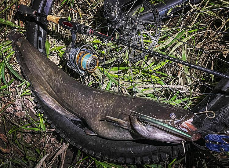夜活BIKE&FISH エリテンで釣れたナマズ