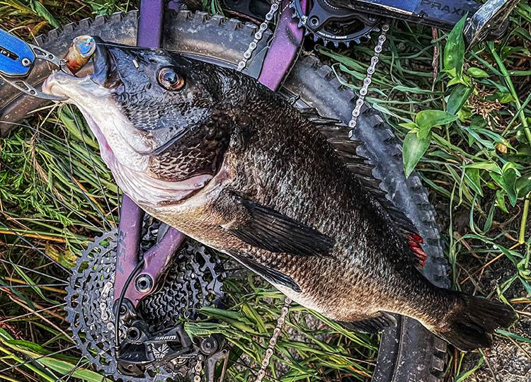 BIKE&FISH POPXで釣れたクロダイ