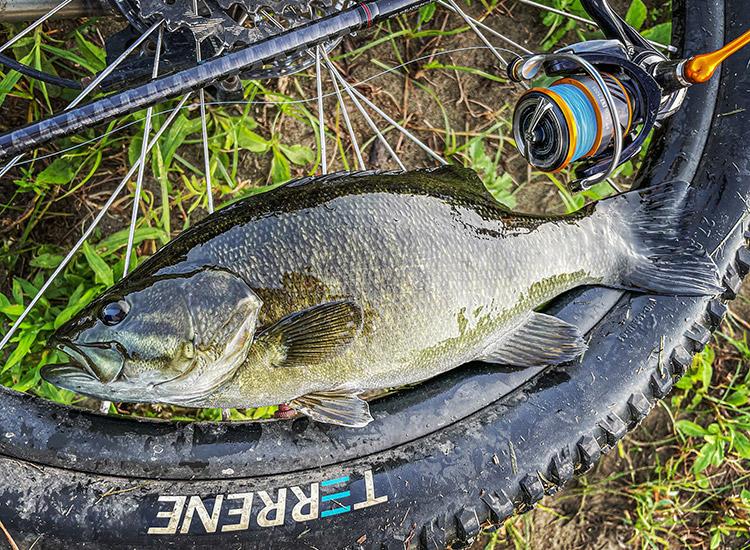朝活BIKE&FISH ゲイリーシュリンプ ワームで釣れたスモールマウスバス